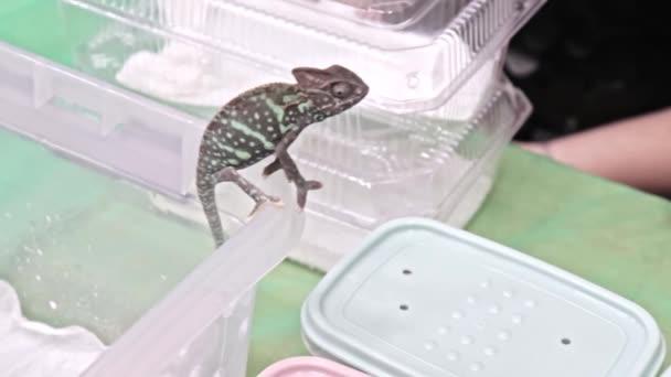 Panther Chameleon Furcifer pardalis sedí na kraji plastického teráriu