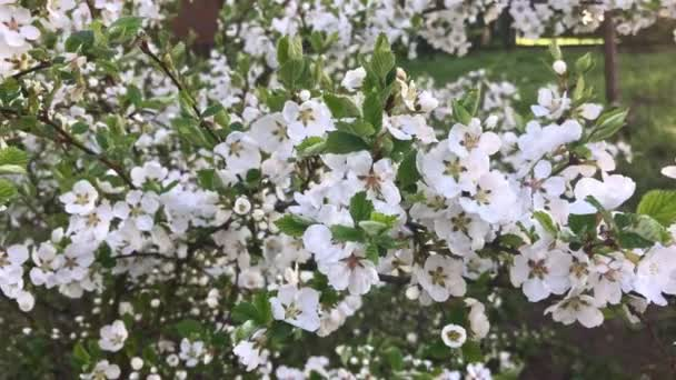 Spring Nunking cherry prunus tomentosa blossoms, panoramic view, a lot of white flowers on a bush