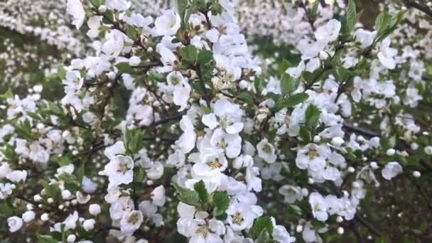 Spring Nunking cherry prunus tomentosa blossoms close up, a lot of white flowers on a bush