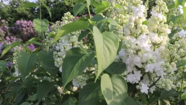 Tender delicate white lilac, Syringa vulgaris double flowers, paanoramic view of lilac garden