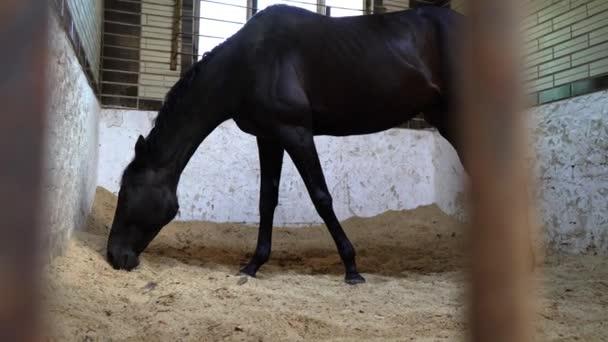 Černý kůň žere ve stájích, krásné tmavé hřebec