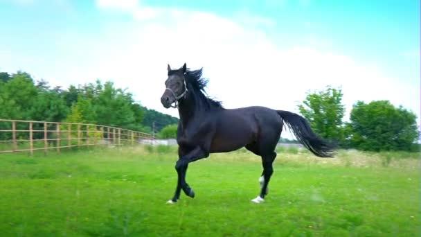 schwarz schönes Pferd galoppiert auf dem grünen Gras in der Koppel