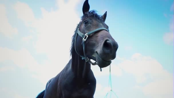 Horký dech mění v páru, když vyjde z koně nozdry. Vyfukování vzduchu silný hřebec
