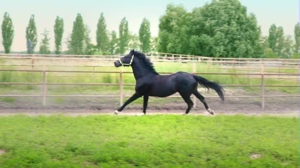 Fekete gyönyörű ló vágtató a zöld fűben, a karámban
