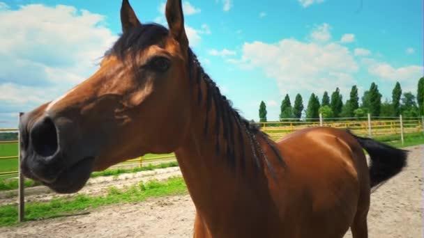 Egy gyönyörű barna ló egy sörény fonott Pigtailek csendben, neighs, horselaugh, egy portré egy ló