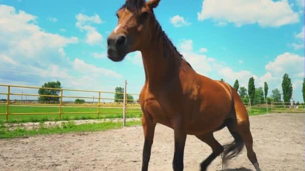 A barna ló a földön fekszik, akkor emelkedik. A farm a karámban ló.