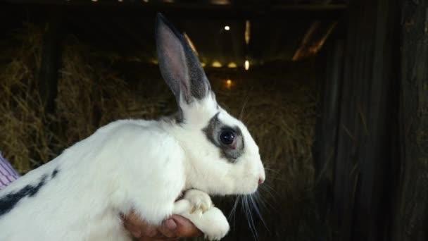 Ein großen weißen Kaninchen mit dunklen Flecken. Jemand hält eine Erwachsenen Kaninchen