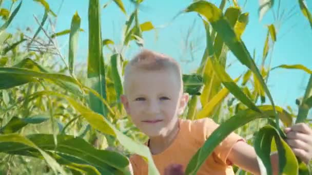 A blonde boy in an orange T-shirt is playing in a cornfield, a child is hiding in behind corn stalks