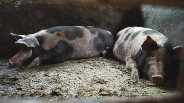 Große Schweine