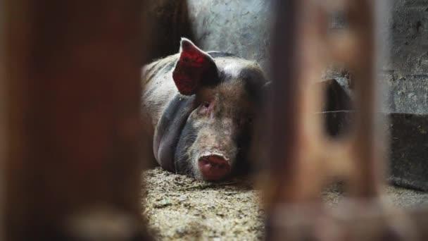 Schwein liegt im Schweinestall, Blick von hinten auf ein Metallgitter