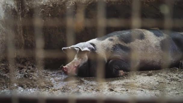 Schwein liegt in einem Schweinestall, Ansicht von hinten ein Metallgitter