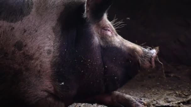 The pig lies on the floor in a pigsty and shakes her head. A big pig chases flies