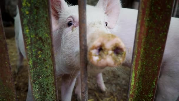 Two small white piglets in a pigsty, piglets behind a fence of metal rods, pig farm