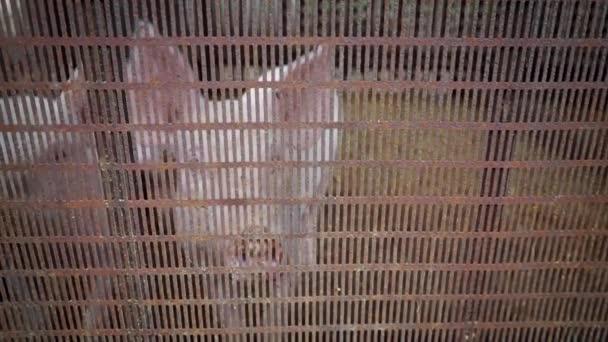 Két kis fehér malac a disznóól mögött egy fém rácsos malacok