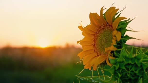 Lonely young sunflower swaying in the wind in the field against the sunset. Sunflower hat at dawn, close-up