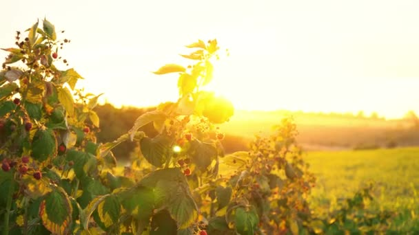 Raspberry bushes in the rays of the setting sun, sunset over the raspberry plantation, dawn in a field where raspberries grow