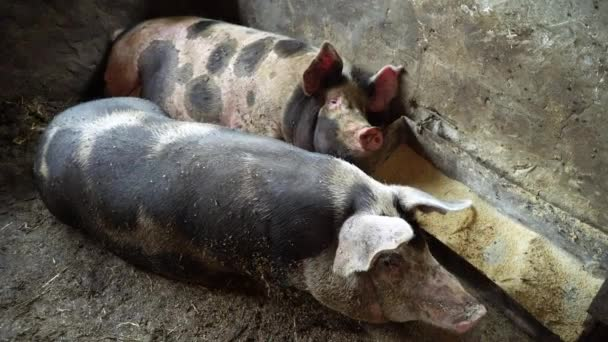 Two big pigs lying in the pigsty on the floor, the pigs are sleeping, rest, one of two pigs gets up, pig farm