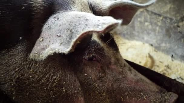 Muzzle of a pig lying in a pigsty and looking into the camera, flies sit on a pig lying in a pigsty, pig farm