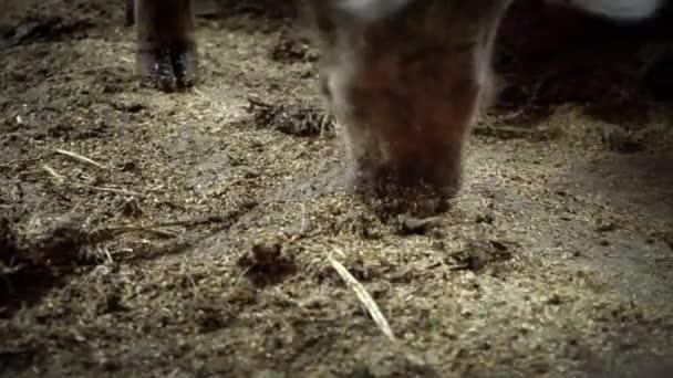 Schnauze, die auf der Suche nach Essen auf dem Boden im Schweinestall, einem großen Schwein in einer Schweinefarm Schweine schnüffeln Lebensmittel unter den Schmutz