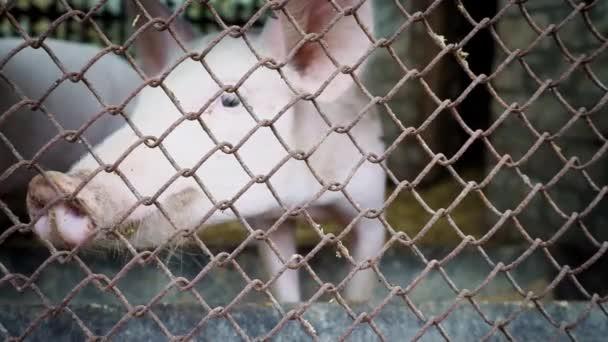 Két kis fehér malac a disznóól mögött egy fém háló, sertéstelep malacok