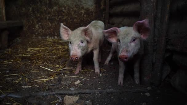 Little pink piglets on a farm. Two funny pigs in the pigsty
