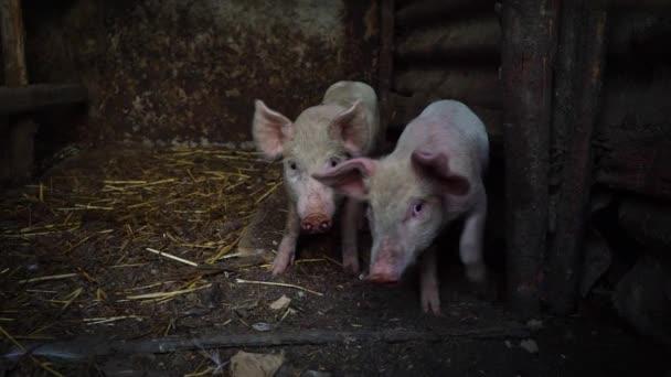 Kleine Rosa Ferkel auf einem Bauernhof. Zwei lustige Schweine im Schweinestall, Vieh