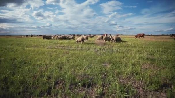 Eine Schafherde mit dicker Wolle auf einer Weide. Schafzucht für Wolle und Fleisch. Menschenmenge von Widdern und Lämmern auf einer Weide. Ranch, Nutztiere.