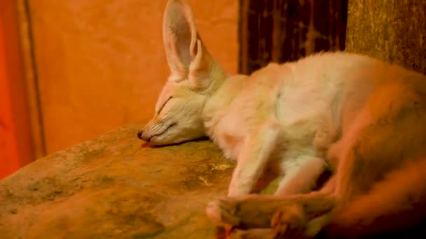 Fennec fox sleeping in her cage at the zoo