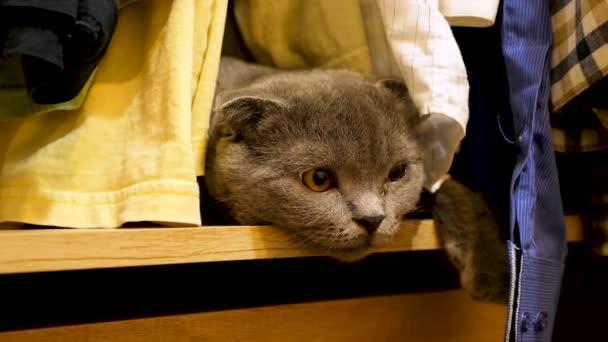 schottisch faltendes Kätzchen im Kleiderschrank spielt mit der Kleidung