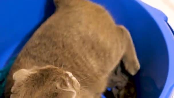 Aranyos vicces scotish fold cica játszik a blue bowl
