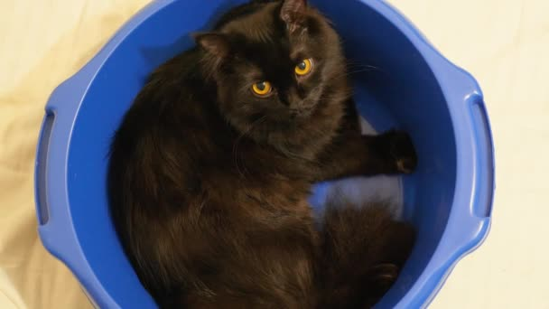 Big black maine coon norwegian forest cat sitting confortably in a blue bowl