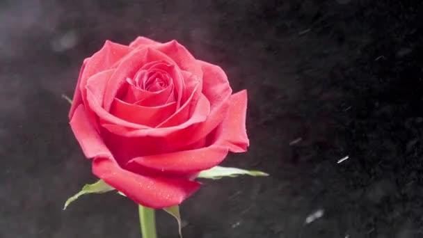 Permetezés víz-ra egy gyönyörű piros rózsa elszigetelt felső sötét háttér