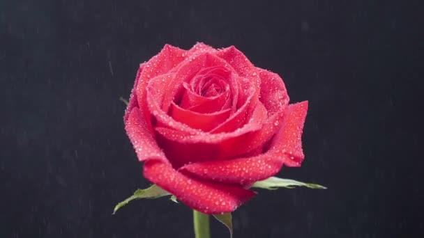 Vörös Rózsa meghad esővízzel lassítva