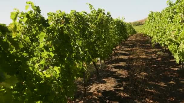 Krásná vinice v teplém podzimním slunci