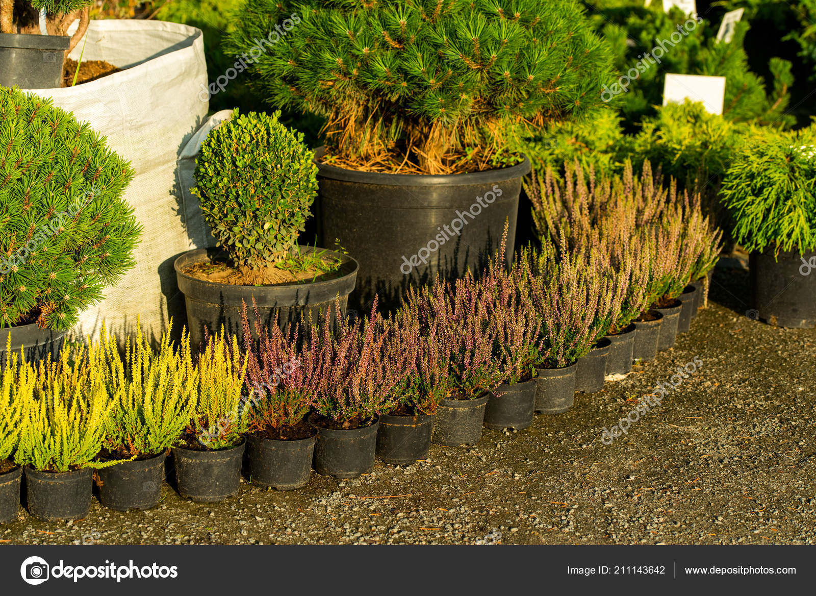 bushes in tubs for sale — Stock Photo © Posonsky #211143642