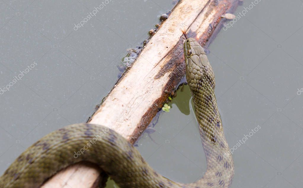 Dice snake (Natrix tessellata) is a European nonvenomous snake belonging to the family Colubridae, subfamily Natricinae. In natural habitat, Danube river.
