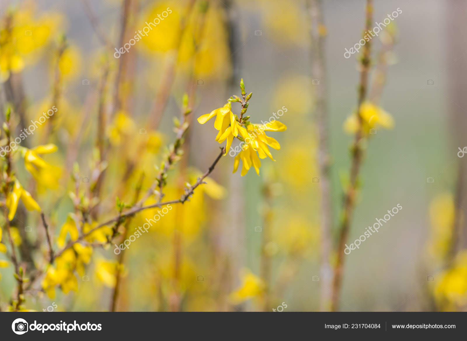 Spring Garden Blooming Yellow Bushes Stock Photo C Somra Stefan