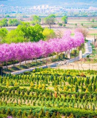 Garden park landscape with blooming sakura trees