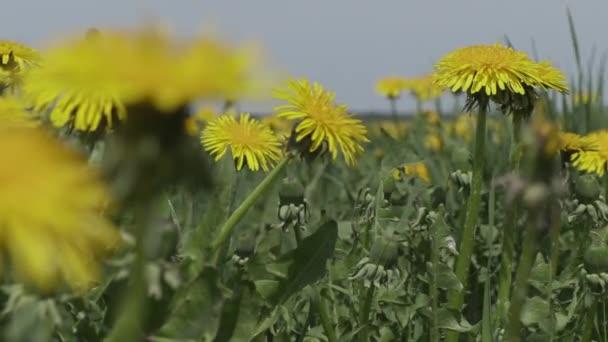 pole žlutých dandeliů zblízka