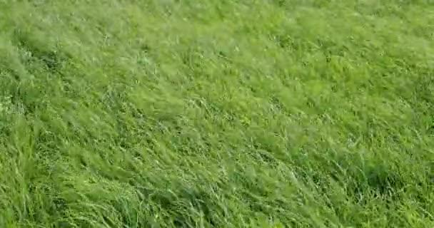 Wind raschelt das grüne Gras tagsüber -Video 4k