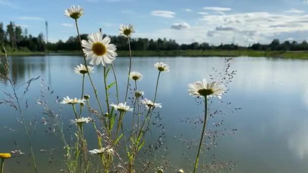 heřmánky se pohybuje ve větru, na vodní pozadí.4k video klip