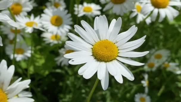 heřmánkový květ v přírodě v létě, detailní video 4k