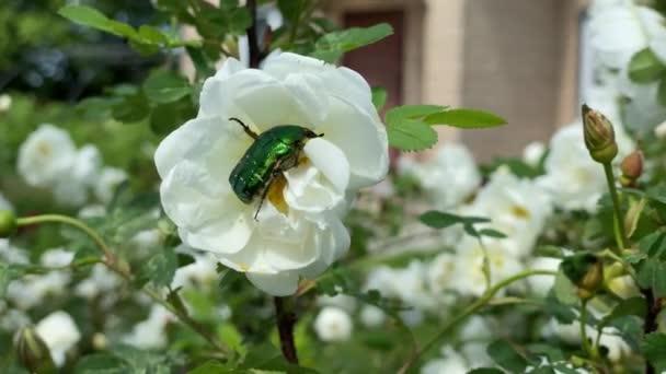 Grüner Käfer sitzt auf einer Blume im Garten, Nahaufnahme Video 4k