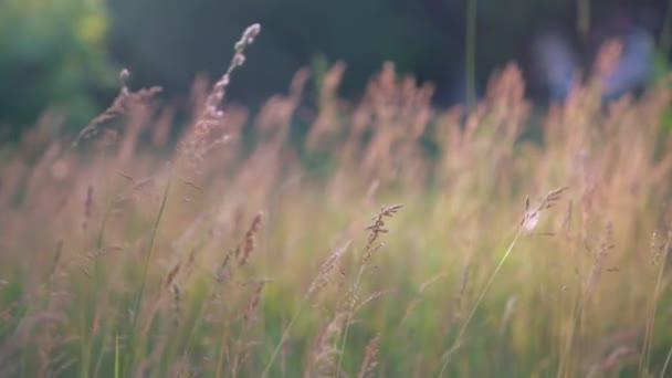 Květenství kvetoucí trávy ve venkovské oblasti