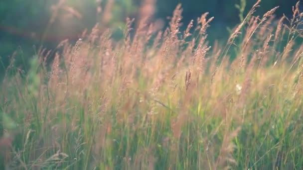 Dlouhá léta gras s lehoučkou květenství