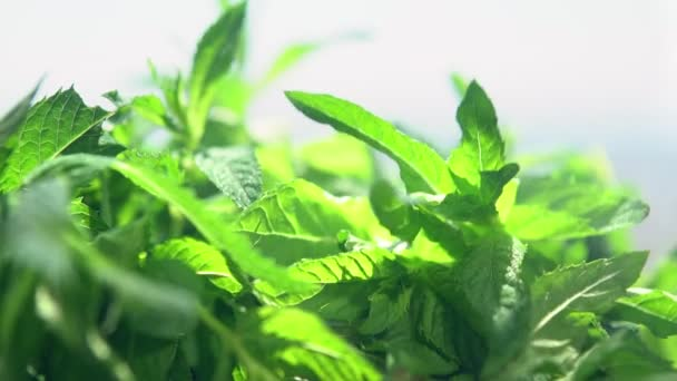 Fresh green leaves of mint misted with water