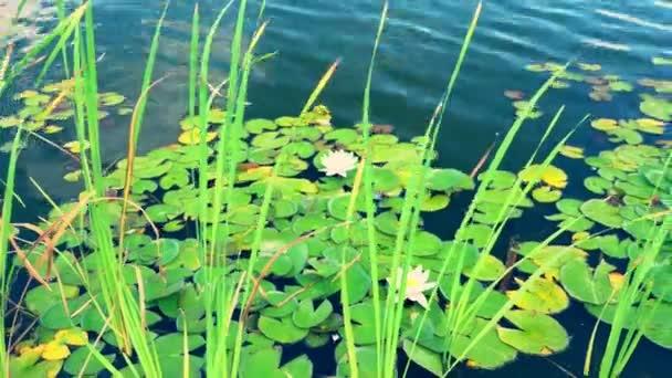 Lekníny a rákosí rostoucí v rybníku