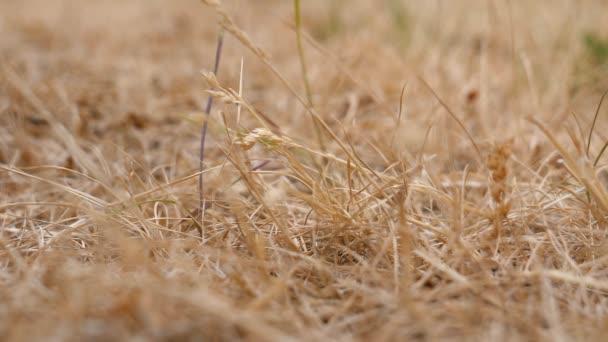 Szárított fű absztrakt az éghajlatváltozás háttér. Kis rovarok mászik fel-le a szalma