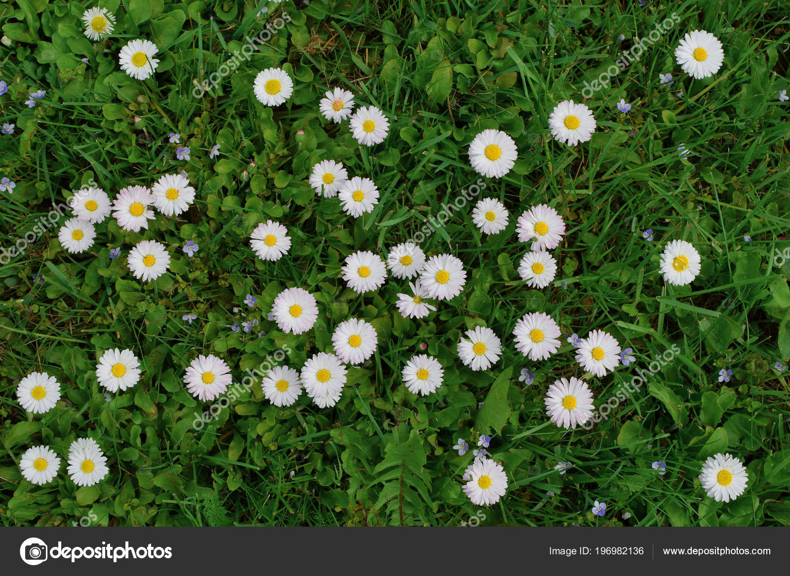 Top View Small White Daisy Flowers Bellis Perennis Green Meadow