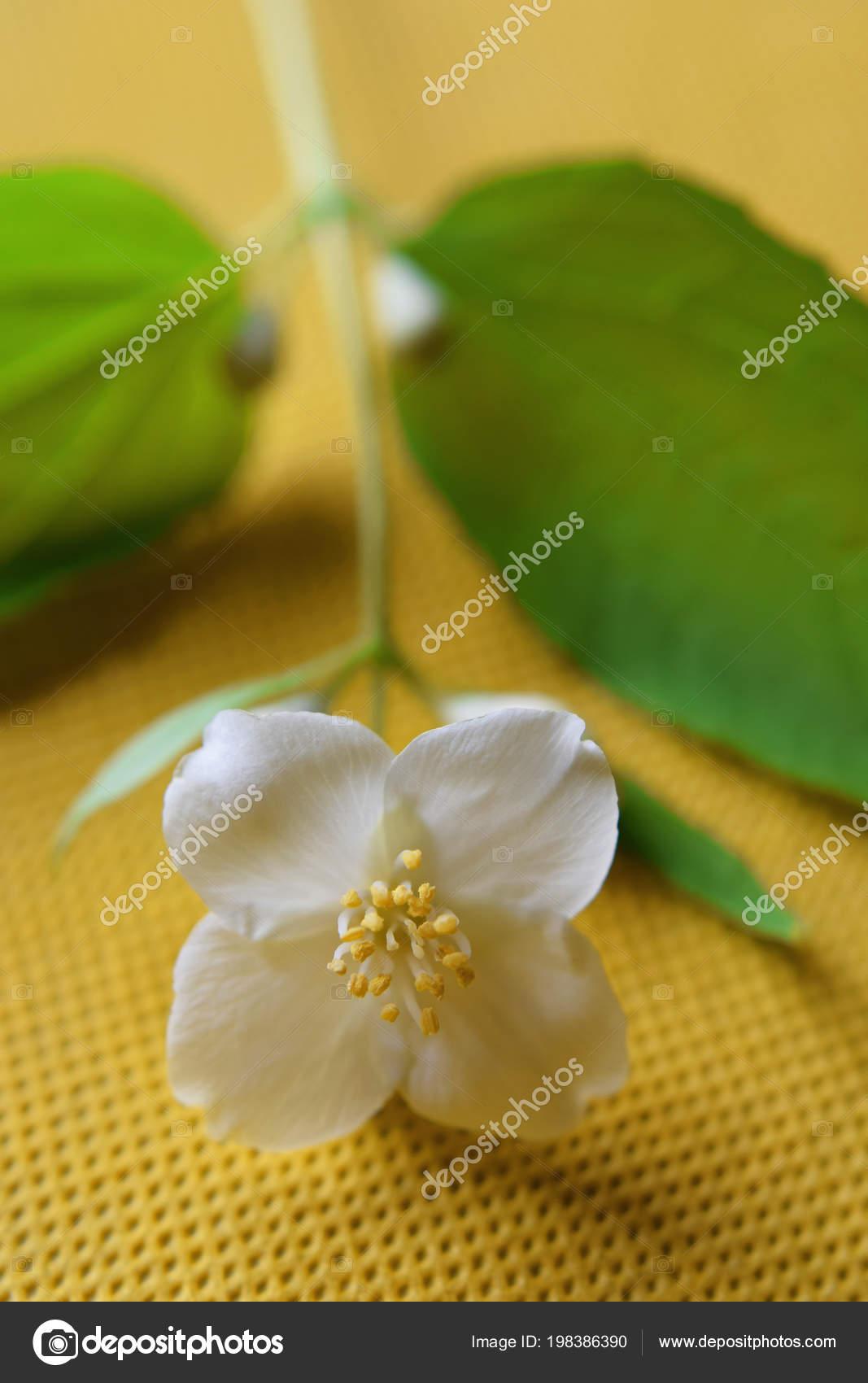 Small Branch Philadelphus Coronarius One White Beautiful Flower Four